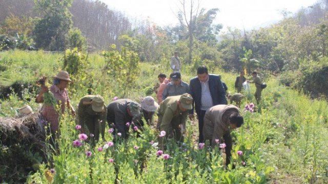 Truy cứu trách nhiệm hình sự hành vi trồng cây thuốc phiện – Luật 24h