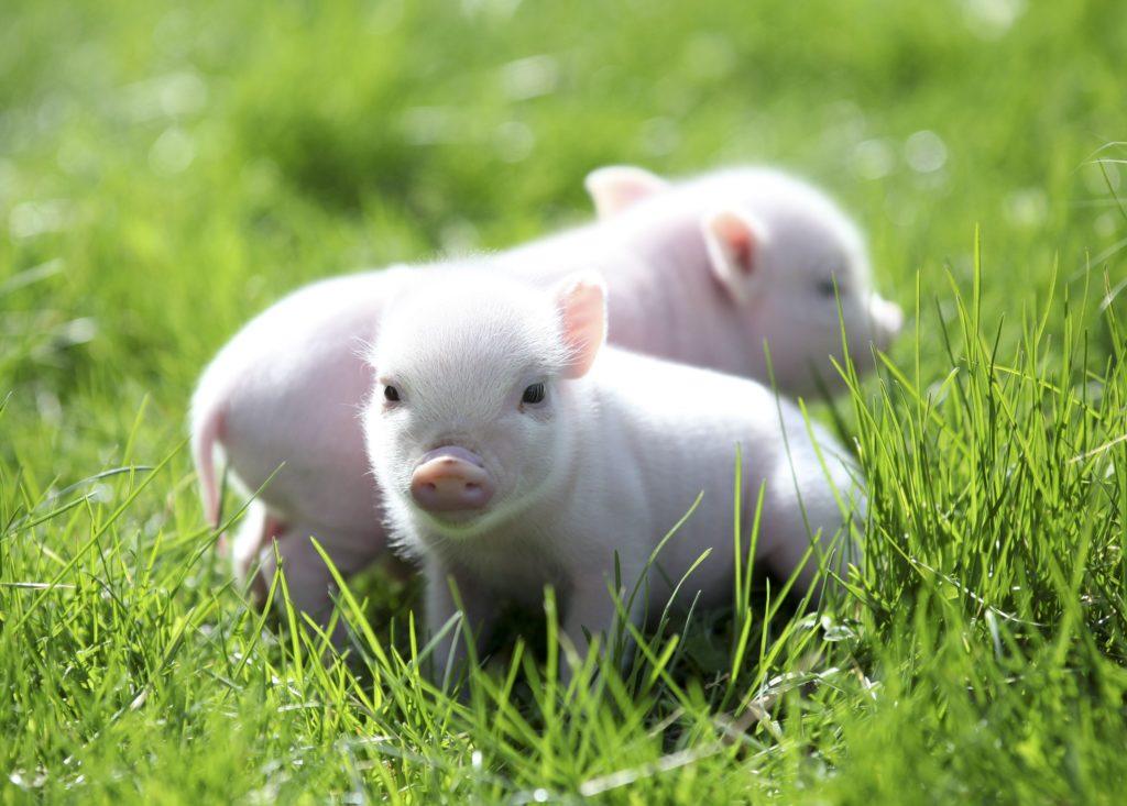 Xác lập quyền sở hữu đối với hoa lợi, lợi tức từ gia súc